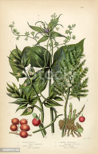 Very Rare, Beautifully Illustrated Antique Engraved Briony, Black Briony, Asparagus, Butchers Broom Victorian Botanical Illustration, from The Flowering Plants and Ferns of Great Britain, Published in 1846. Copyright has expired on this artwork. Digitally restored.