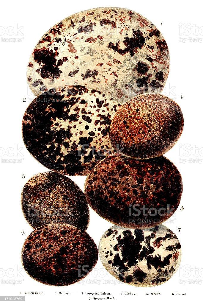 British Europea aves huevos de grabado - ilustración de arte vectorial