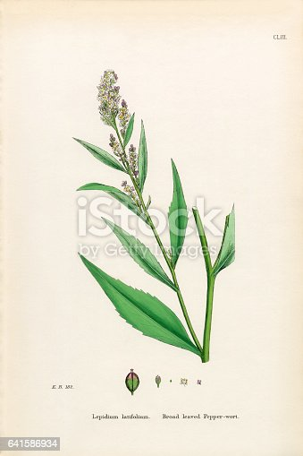 Very Rare, Beautifully Illustrated Antique Engraved and Hand Colored Victorian Botanical Illustration of Broad leaved Pepperwort, Lepidium latifolium, 1863 Plants. Plate 153, Published in 1863. Source: Original edition from my own archives. Copyright has expired on this artwork. Digitally restored.