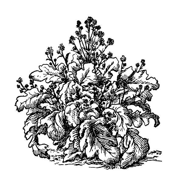 ilustraciones, imágenes clip art, dibujos animados e iconos de stock de brécol planta de - comida española