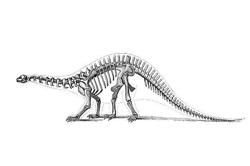 Brontosaurus is a genus of gigantic quadruped sauropod dinosaurs