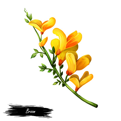 Broom flower, dyers greenwood, weed and whin, furze, green broom, greenweed, wood waxen digital art illustration of yellow blooming flowers. Genista tinctoria, lupine lupin gorse and laburnum.