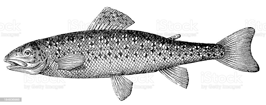 Brown Trout (Salmo Trutta Morpha Fario) vector art illustration