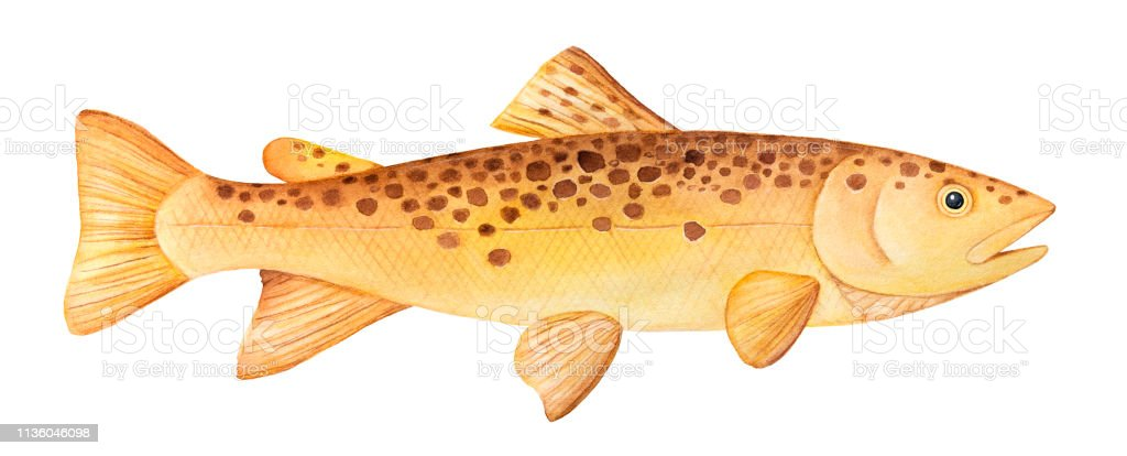 Brown Trout (Salmo trutta) watercolor illustration. One single fish, side view swimming, horizontal. Handdrawn water color painting on white background, cutout clipart element for design decoration. vector art illustration