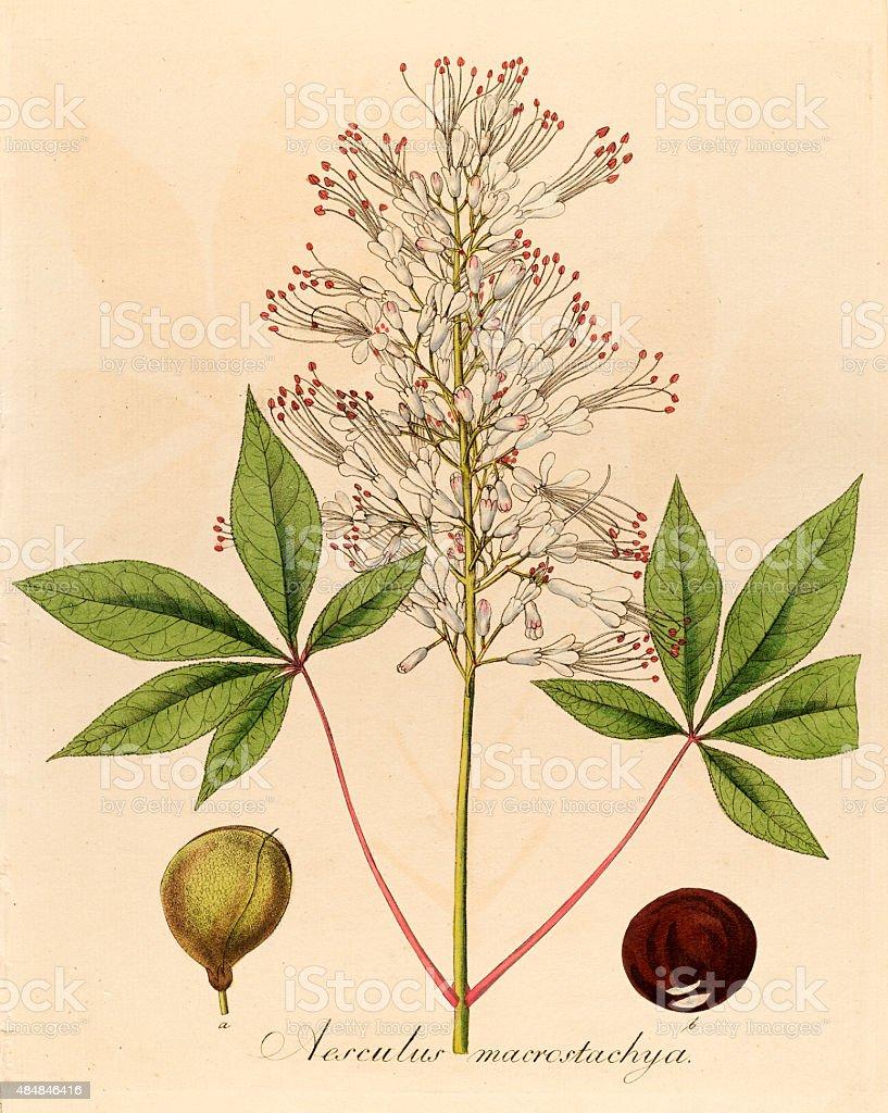 Buckeye, 19 century botanical illustration vector art illustration