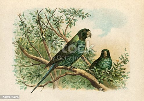 Steel engraving of the budgerigar ( Melopsittacus undulatus ) , also known as common pet parakeet or shell parakeet and informally nicknamed the budgie, is a small, long-tailed, seed-eating parrot.