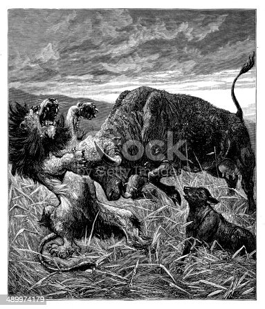 Buffalo Defending Her Calf from Lion
