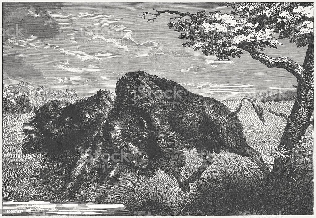 Buffalos (Bison bison) fighting, wood engraving, published in 1864 royalty-free stock vector art