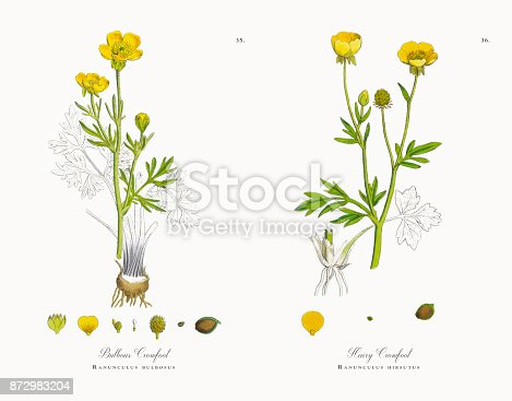Very Rare, Beautifully Illustrated Antique Engraved and Hand Colored Victorian Botanical Illustration of Bulbous Crowfoot, Ranunculus bulbosus, Victorian Botanical Illustration, 1863 Plants. Plate 35, Published in 1863. Source: Original edition from my own archives. Copyright has expired on this artwork. Digitally restored.