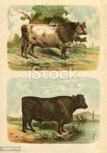 Steel engraving Bull with short horns ( up ) and Suffolk Bull ( down )