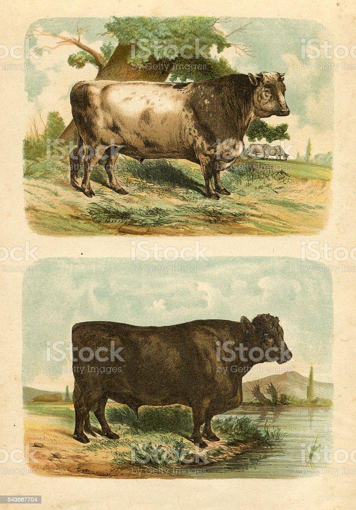 Bull cow cattle engraving 1880 vector art illustration