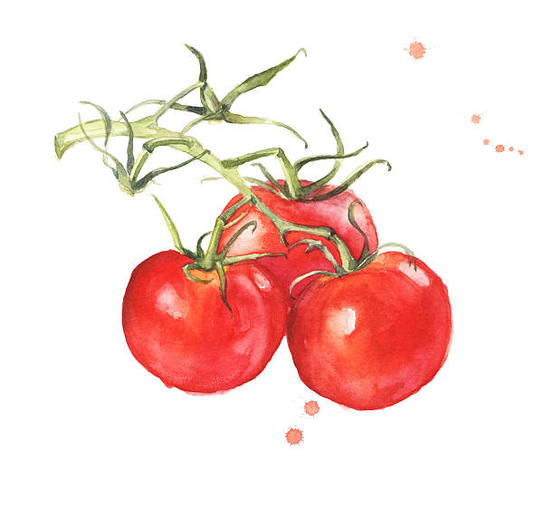 Bunch of fresh tomatoes A bunch of fresh tomatoes isolated on white background, watercolor illustration tomato stock illustrations
