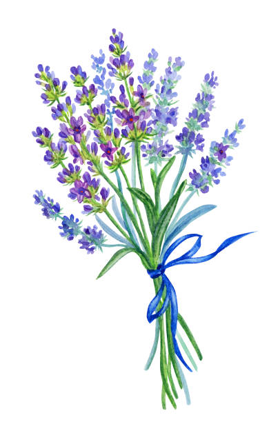 Best English Lavender Illustrations, Royalty-Free Vector ...
