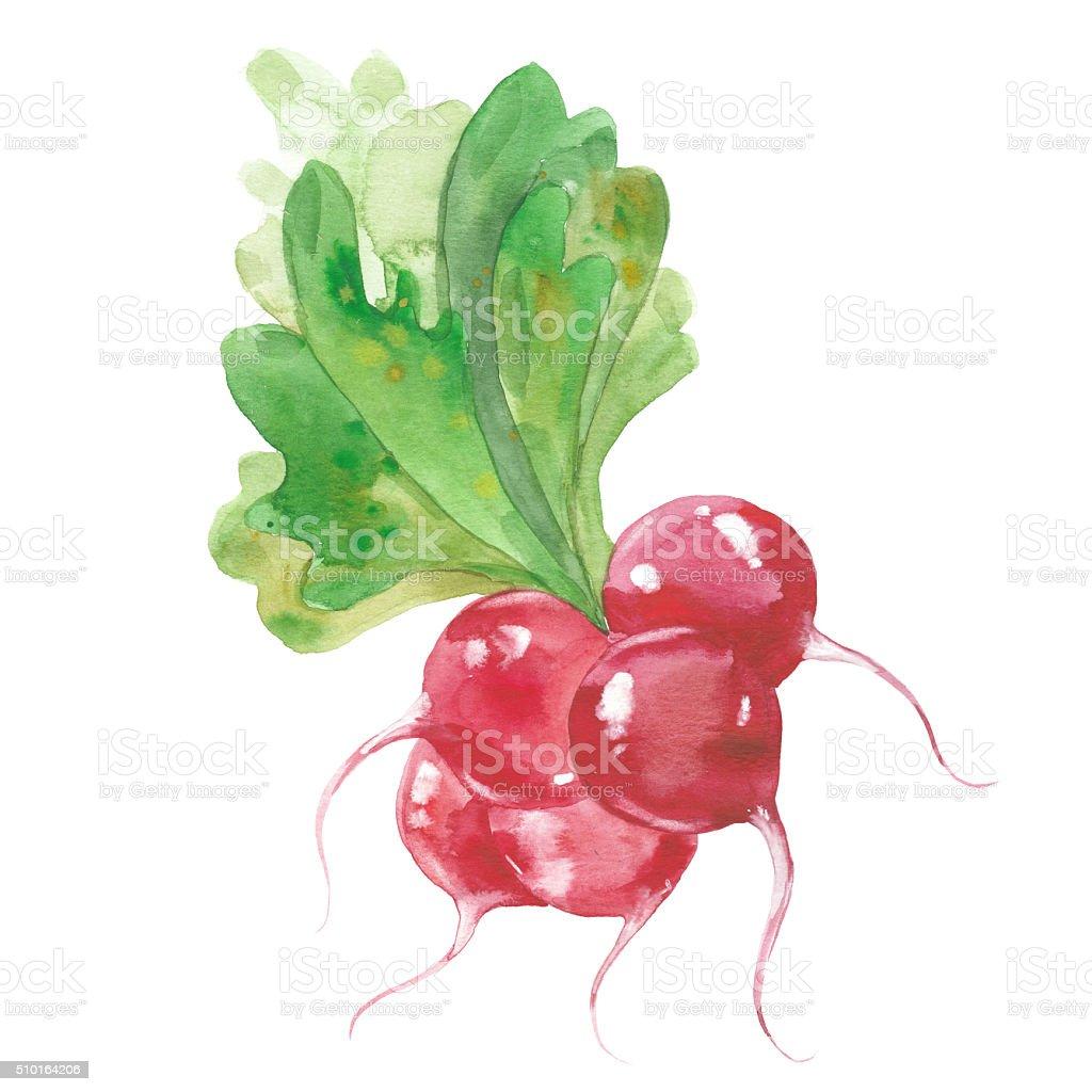 bunch of radishes vector art illustration