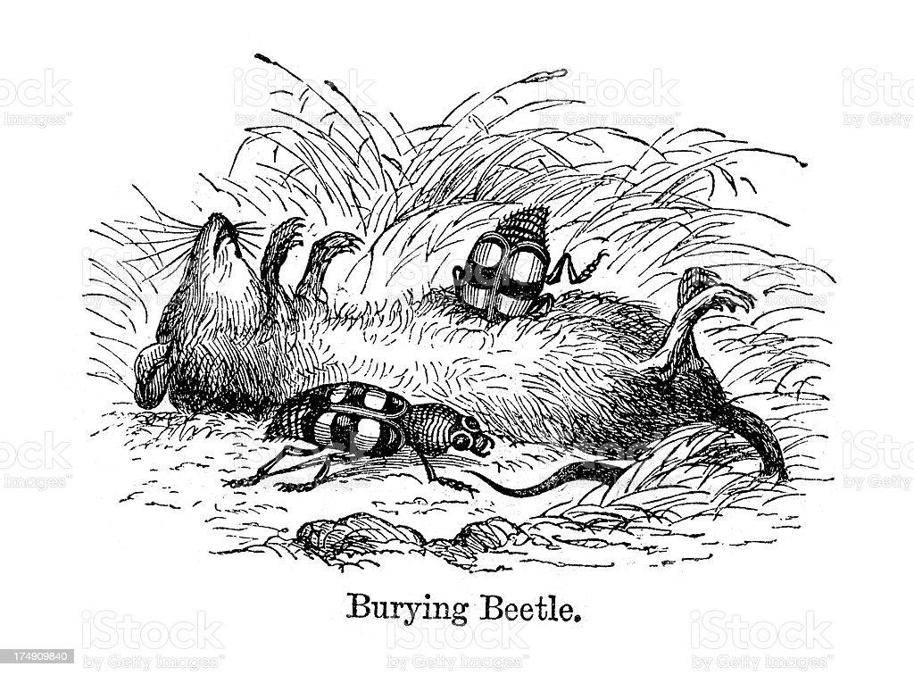 Burying Beetle royalty-free stock vector art