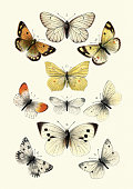 Vintage engraving of Butterflies. 2. Black veined white, 3. Large white, 4. Small white, 5. Green veined white, 6. Bath white, 7. Irange Tip, 8. Wood white, 9. Clouded yellow, 10. Pale clouded yellow, 11. Brimstone. Our Country's Butterflies and Moths and how to Know Them: A Guide to the Lepidoptera of Great Britain