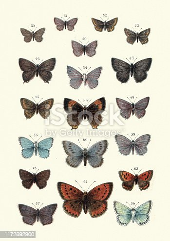 Vintage engraving of Butterflies. 44. Brown hairstreak, 45. Black hairstreak, 46. White letter hairstreak, 47. Purple hairstreak, 48. Green hairstreak, 49. Long tailed blue, 50. Short tailed blue, 51. Silver studded blue,  52. Brown argus, 53. Scotch brown argus, 54. Blue, 55. Clifden blue, 56. Chalk hill blue, 57. Mazarine blue, 58. Small blue, 59. Azure, 60. Large blue, 61. Large copper, 62. Small copper. Our Country's Butterflies and Moths and how to Know Them: A Guide to the Lepidoptera of Great Britain