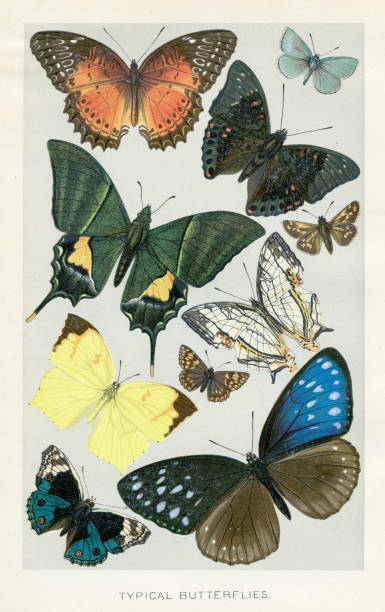 Butterflies chromolithograph 1896 The Royal Matural History by Richard Lydekker, London - Frederick Warne & Co and New York 1896 butterfly insect stock illustrations