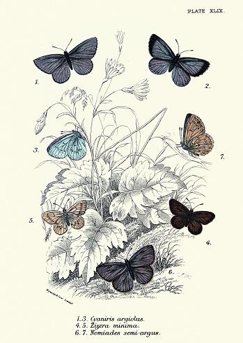 Butterflies, Cyaniris argiolus, Zizera Minima, Nomiades Semi-Argus art print