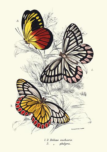 Vintage illustration of Butterflies, Delias eucharis common Jezebel, Delias philyra, Wildlife art