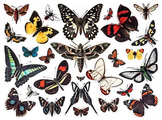butterflies Antique illustration of various butterflies butterfly insect stock illustrations