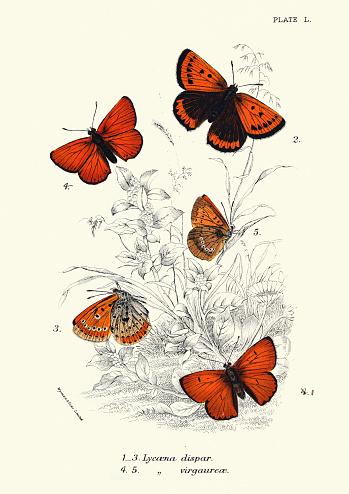 Vintage illustration of Butterflies, large copper (Lycaena dispar) and scarce copper (Lycaena virgaureae)