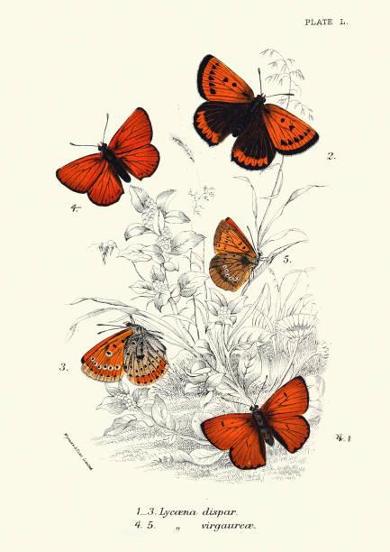 Butterflies, large copper, Lycaena dispar, scarce copper, Lycaena virgaureae vector art illustration