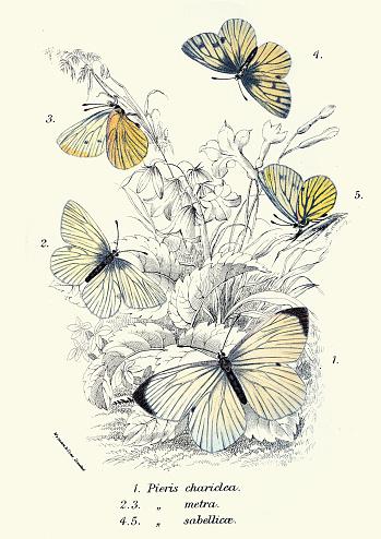 Butterflies, pieris chariclea, pieris metra,pieris sabellicae, art wildlife print