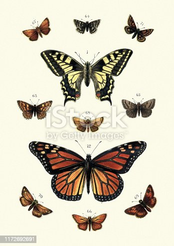 Vintage engraving of Butterflies. 1. Swallow tail, 12. Black veined Brown, 63. Duke of Burgundy, 64. Grizzled skipper, 65. Dingy skipper, 66. Small Skipper, 67. Essex skipper, 68. Lulworth Skipper, 69. Large skipper, 70. Pearl skipper, 71. Chequered skipper. Our Country's Butterflies and Moths and how to Know Them: A Guide to the Lepidoptera of Great Britain