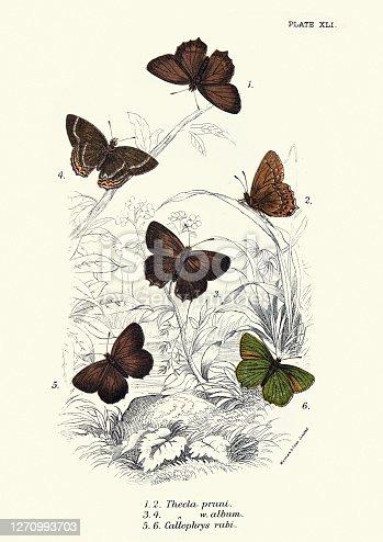 Butterflies, Thecla pruni, Thecla w. album, butteryfly, art print