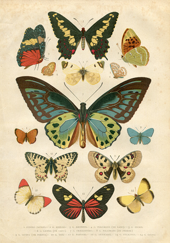 Butterfly Papilio Nymphalidae illustration 1881