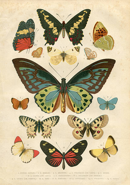 Butterfly Papilio Nymphalidae illustration 1881 Steel engraving of different butterfly butterfly insect stock illustrations