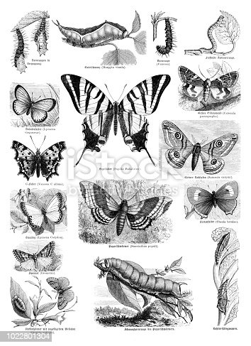 Steel engraving of different butterflies - butterfly sail swallowtail from 1870 Original edition from my own archives Source : Illustriertes Konversations Lexikon 1870 now in public domain