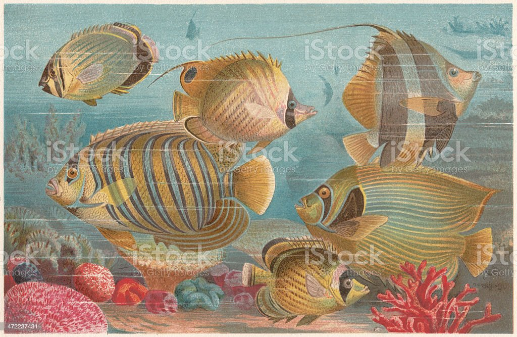 Butterflyfishes in a coral reef, lithograph, published in 1884 vector art illustration