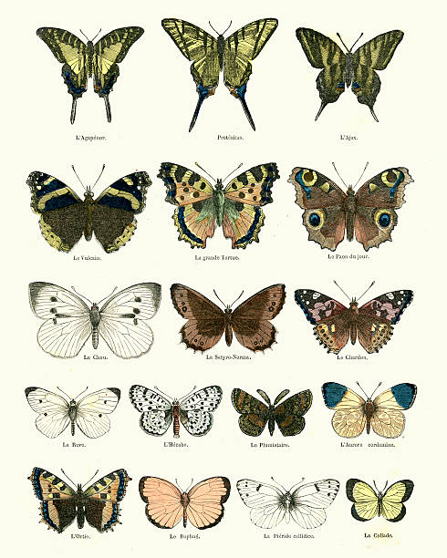 Butterlies Victorian vintage engraving of butterlies, France, 1875 butterfly insect stock illustrations