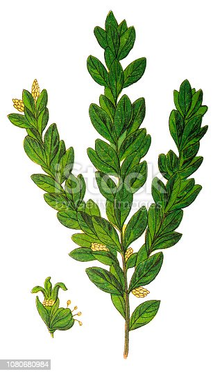 Illustration of a Buxus sempervirens, the common box, European box, or boxwood