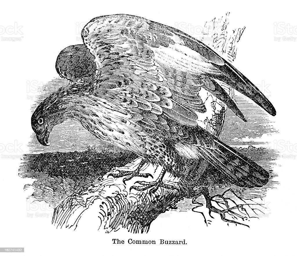 buzzard royalty-free buzzard stock vector art & more images of 1880-1889