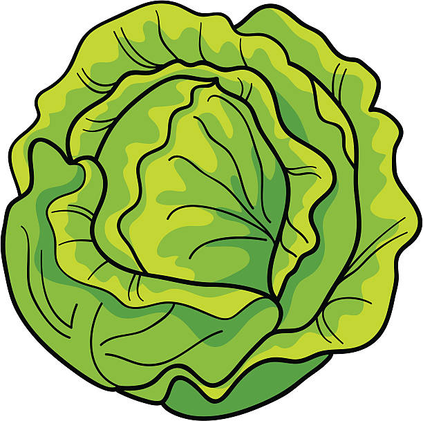 cabbage - lettuce stock illustrations