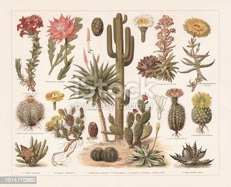 Cacti: 1) Crassula coccinea; 2) Fishbone cactus; (Epiphyllum anguliger, or Phyllocactus anguliger); 3) Houseleek (Sempervivum tectorum); 4) Mesembryanthemum; 5) Devilshead (Echinocactus horizonthalonius); 6) Bitter aloe (Aloe ferox); 7) Texas rainbow cactus (Echinocereus dasyacanthus, or Cereus dasyacanthus); 8) Mammillaria pectinata (Mammillaria solisioides); 9) Star flower (Orbea variegata, or Stapelia variegata); 10) Plains prickly pear (Opuntia macrorhiza, or Opuntia filipendula); 11) Turk's cap cactus (Melocactus, or Melocactus communis); 12) Saguaro (Carnegiea gigantea, or Cereus giganteus); 13) Opuntia cochenillifera (or Opuntia coccinellifera) with fruit (left); 14) Agave mitis (or Agave Celsii); 15) Chalk agave (Agave titanota, or Agave horrida nana). Chromolithograph, published in 1897.