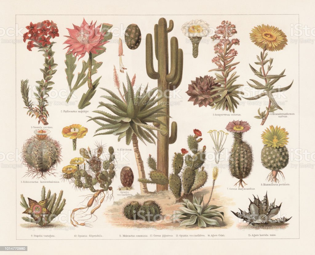 Cacti, chromolithograph, published in 1897 vector art illustration