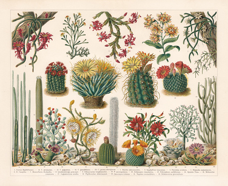 Cacti, chromolithograph, published in 1900
