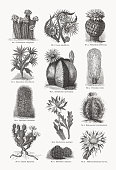 Cacti (Cactaceae), wood engravings, published in 1893