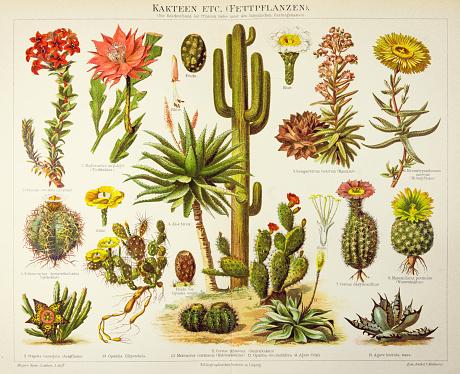 Cactus engraving 1895