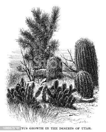 Cactus growth in the deserts of Utah - Scanned 1880 Engraving