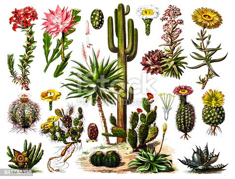 Illustration of a Cactus engraving