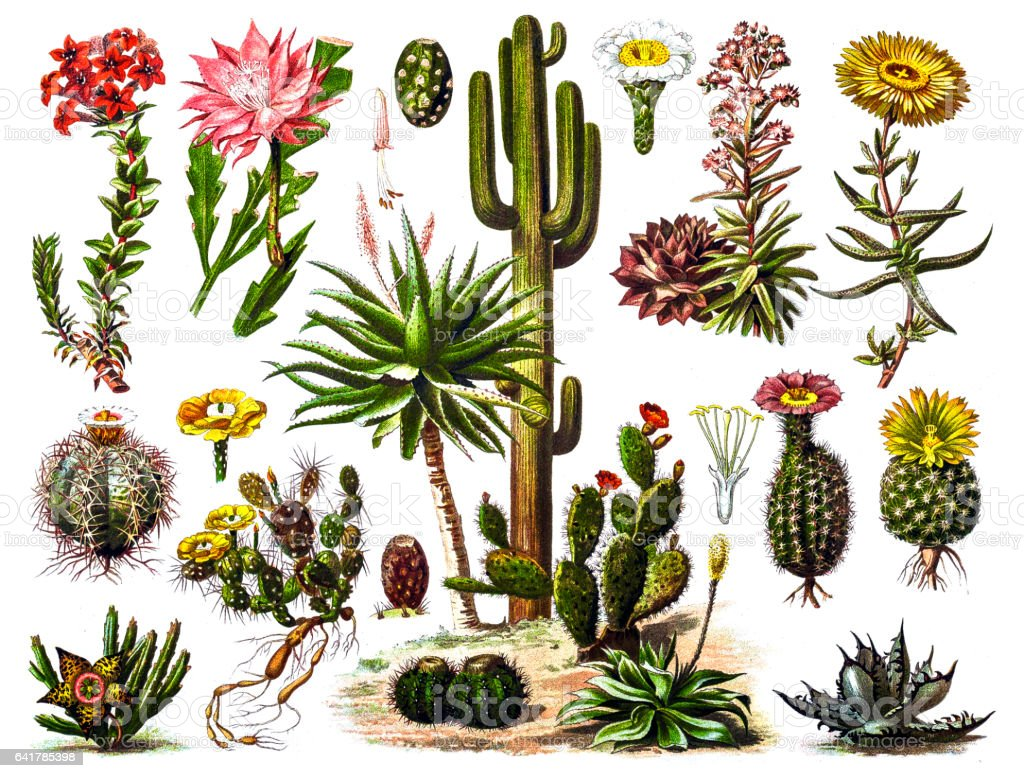 Cactus vector art illustration