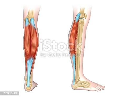 istock Calf muscles diagram 1250454994