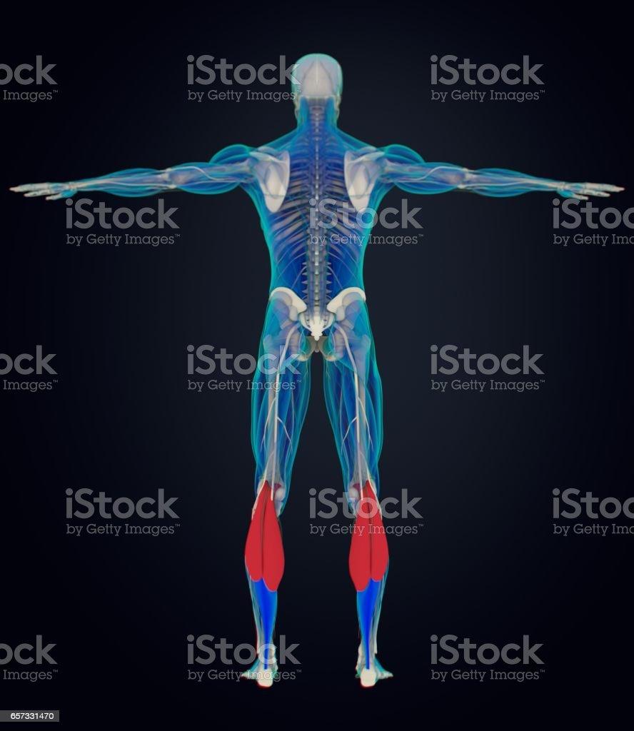 Músculos De La Pantorrilla Anatomía Humana Gastrocnemio Ilustración ...