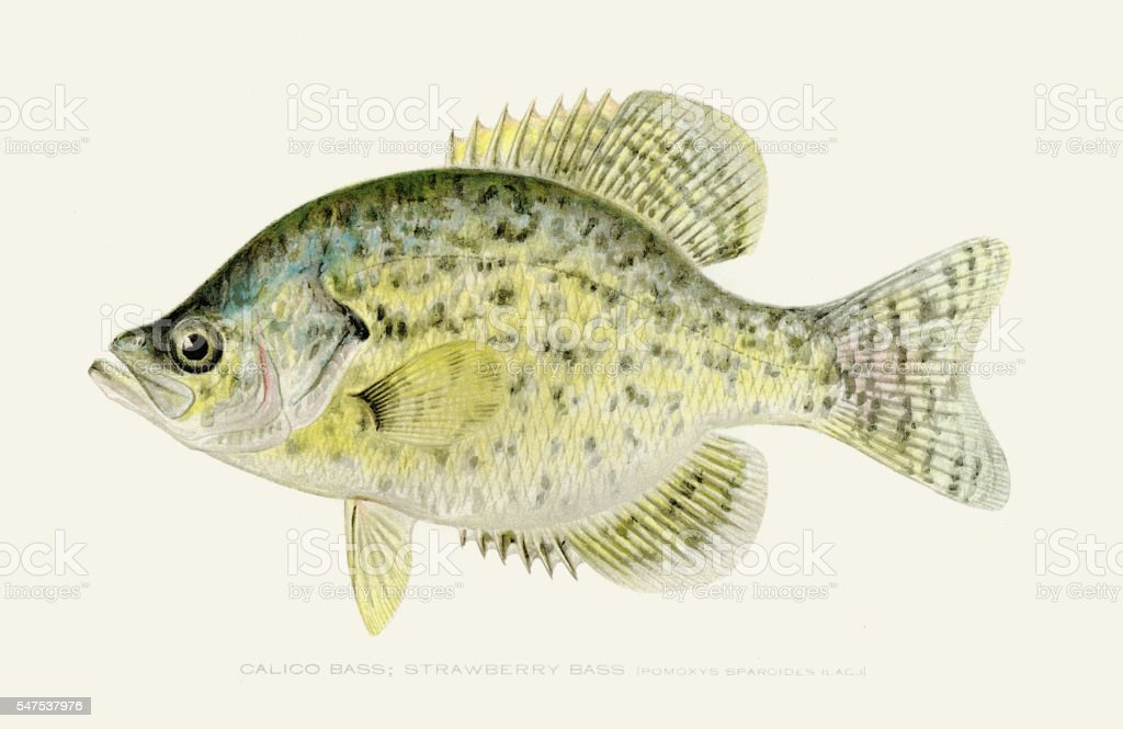 Calico kelp bass illustration 1896 vector art illustration