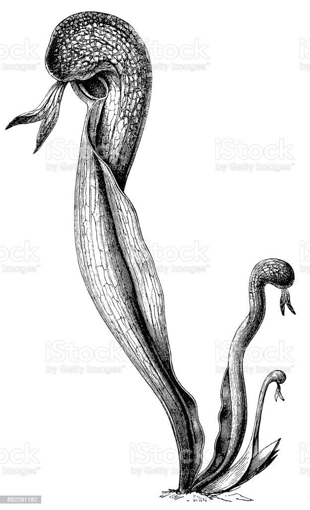 Ilustración de California Pitcher Plant Cobra Lily Or Cobra Plant y ...